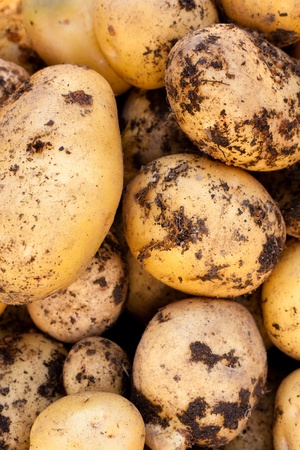 Fresh harvest of delicious Yukon Gold potatoes.