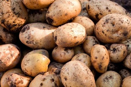 potato field: Fresh harvest of delicious Yukon Gold potatoes.