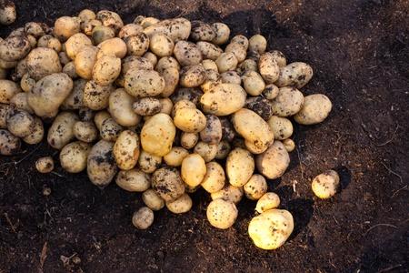 Fresh harvest of delicious Yukon Gold potatoes. Stock Photo - 8326209