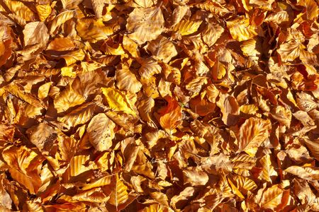 Golden fall background pattern texture of beech leaves fallen to the ground. photo