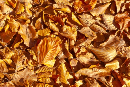 Golden fall background pattern texture of beech leaves fallen to the ground.