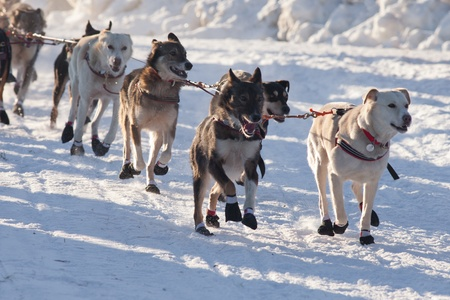 dog sled: Team of enthusiastic sled dogs pulling hard to win the sledding race. Stock Photo