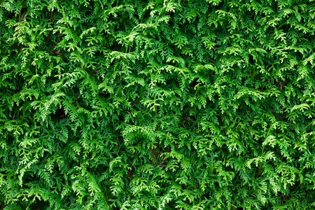 thuja: Green Thuja Hedge Background Pattern Texture.