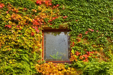 Vine and ivy covered fall colored wall of house with window. photo