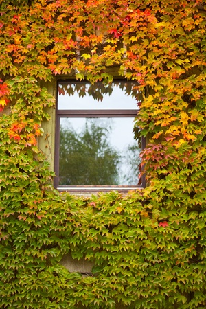 Vine and ivy covered fall colored wall of house with window. Stock Photo