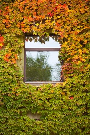 Vine und Efeu bedeckt fallen farbigen Wand des Hauses mit Fenster. Lizenzfreie Bilder