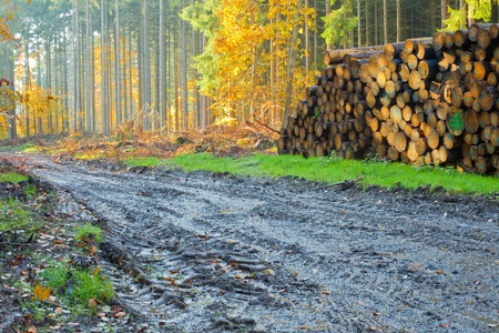 machinery: Renewable resource forest ready to harvest: deep machinery markings in mud and pile of logs.