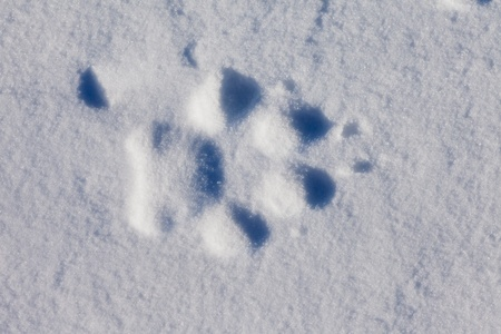 imprints: Recent foot print of a wolf in surface of wind packed sow Stock Photo