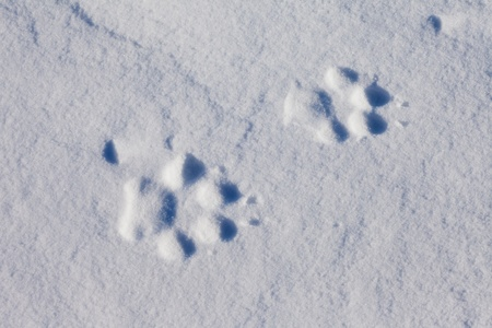 snow on the ground: Recent foot prints of a wolf in surface of wind packed sow