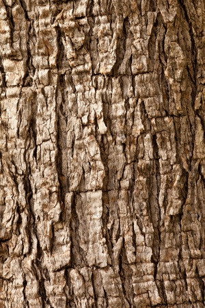 Olive tree (Olea europaea) bark background texture pattern. Stock Photo - 9167850