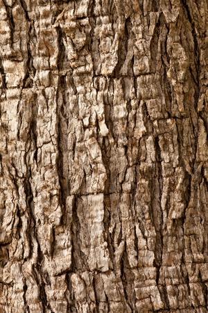 Olive tree (Olea europaea) bark background texture pattern. photo