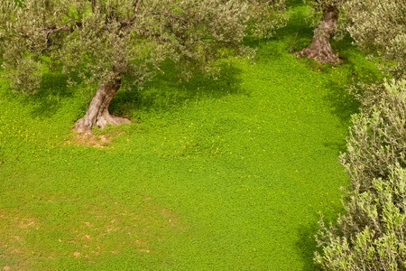 Grove of olive trees (Olea europaea) with dense cover of clover on the ground.