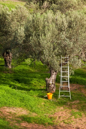 Olive tree garden being harvested: metal ladder leaning in olive tree (Olea europaea) with bucket at the bottom.