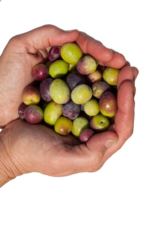Cupped hands full of freshly harvested ripe green and black olives isolated on white. photo