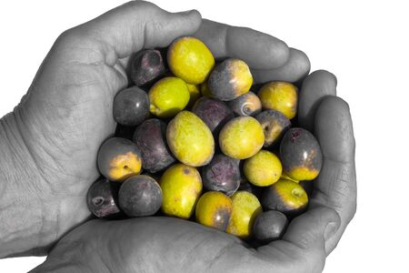 Cupped hands (black&white) full of freshly harvested ripe green and black olives (color) isolated on white. photo