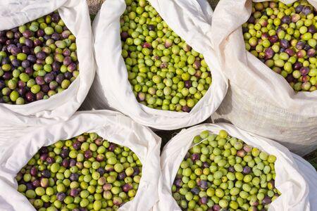 olive green: Sacks filled with freshly harvested olives. Stock Photo
