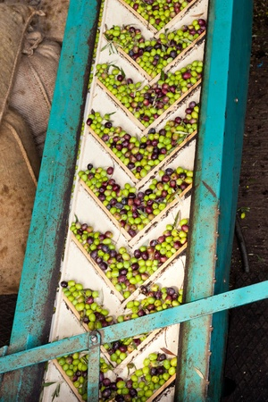 Conveyor belt constantly feeding olives into small scale olive oil mill factory for extracting extra virgin olive oil. Stock Photo