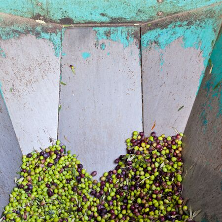 Ripe green and black olives in steel feeder of small scale olive oil mill factory for extracting extra virgin olive oil. Stock Photo - 9167849