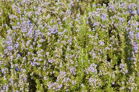 Blooming kitchen herb Rosemary (Rosmarinus officinalis)