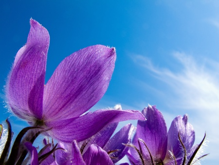 Blooming Pasque Flowers (Pulsatilla patens) close-up against blue sping sky. photo