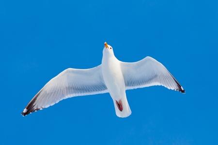 Flying herring gull(Larus argentatus) in blue sky
