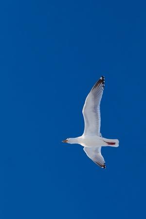Calling herring gull(Larus argentatus) with open beak flying in blue sky. Stok Fotoğraf