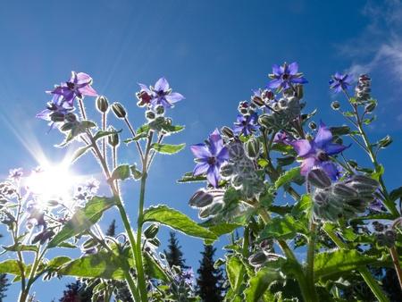 Starflower (Borago officinalis) growing under sunny blue summer sky.