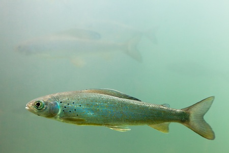 Freshwater fish Arctic Grayling (Thymallus arcticus) underwater waiting for food to float by.