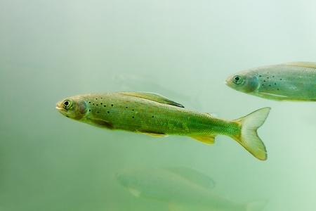 grayling: Cardumen de peces de agua dulce del �rtico Grayling (Thymallus arcticus) bajo el agua esperando por la comida que flotan.