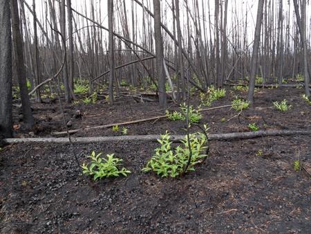 forest fire: 2 meses despu�s de los incendios forestales: nuevo verde ya est� brotando entre los troncos carbonizados. Foto de archivo