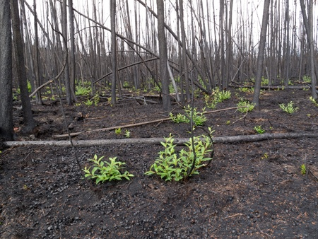 2 month after the forest fire: new green is already sprouting among charred logs. Stock Photo