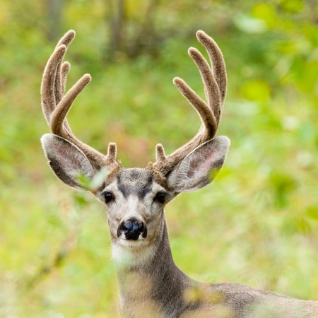 Portrait of mule deer buck (Odocoileus hemionus) with velvet antler staring from the woods. Archivio Fotografico