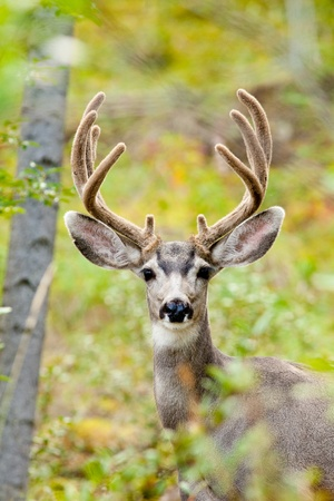 odocoileus: Portrait of mule deer buck (Odocoileus hemionus) with velvet antler staring from the woods. Stock Photo