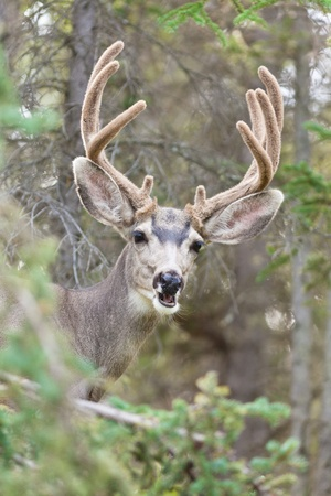 Portrait of mule deer buck (Odocoileus hemionus) with velvet antler showing a funny face. Stock Photo - 10671572