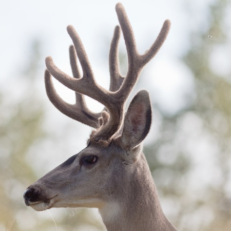 Head profile of mule deer buck (Odocoileus hemionus) with velvet antler in the woods. Stock Photo