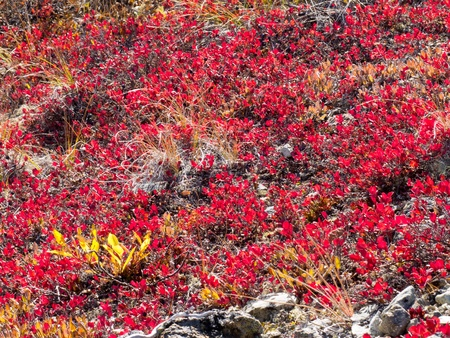 bear berry: Red-golden fall-colored alpine plant mats background texture pattern.