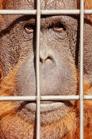 cage gorilla: Orangutan watching from behind steel bars with sad expression on face.
