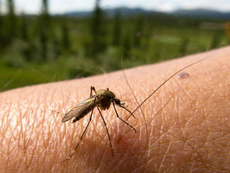 Blood thirsty mosquito of the Yukon Territory ready to sting human arm