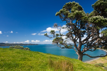 Pohutukawa tree, Metrosideros excelsa, on coastal farmland on Tawharanui peninsula, North Island of New Zealand photo