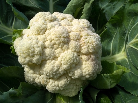 Fresh white cauliflower head with leaves ready to harvest and to be used as an ingredient in cooking  版權商用圖片