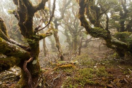 Mists in virgin mountain rainforest wilderness of Marlborough, New Zealand photo