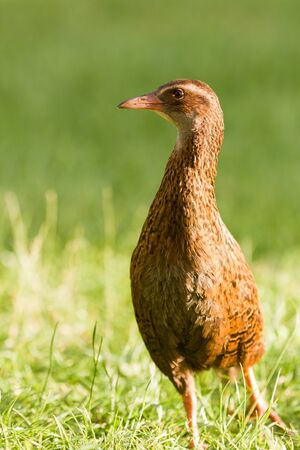 Flightless bird Weka or Woodhen, Gallirallus australis, is endemic to New Zealand photo