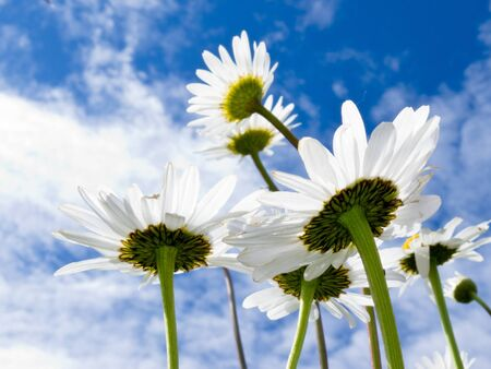 Close up shot of white daisy flowers from below against blue sky with clouds photo