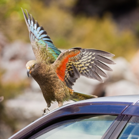 Endemic New Zealand alpine parrot Kea, Nestor notabilis, trying to vandalize rubber from a parked vehicle