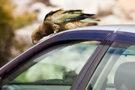 vandalize: Endemic New Zealand alpine parrot Kea, Nestor notabilis, trying to vandalize rubber from a parked vehicle