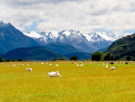 Sheep grazing on West Coast with Aoraki, Mount Cook, highest peak of Southern Alps, vista backdrop forming an iconic New Zealand landscape photo
