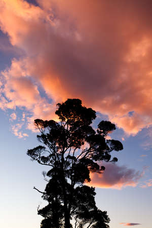 Tall tree silhouetted against a dramatic sunset of orangey clouds in a blue sky with copyspace