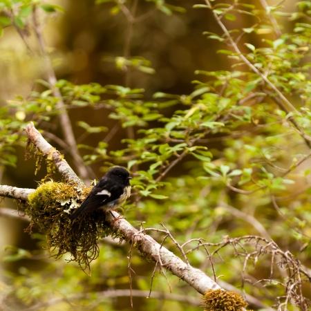 Endemic New Zealand passerine bird Tomtit, Petroica macrocephala, in mountain beech rainforest