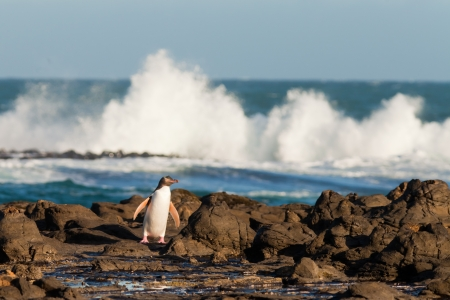 Adult native New Zealand Yellow-eyed Penguin, Megadyptes antipodes or Hoiho, waddling home to nest over rocky shore with surf of South Pacific Ocean in background