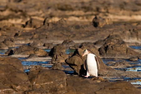 yellow eyed penguin: Adult native New Zealand Yellow-eyed Penguin, Megadyptes antipodes or Hoiho, waddling home to nest site over rocky shore